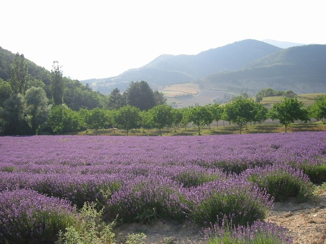 lavenders-in-the-sun-1538100-640x480